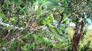 arboles argentinos Maitín Myrrhinium atropurpureum
