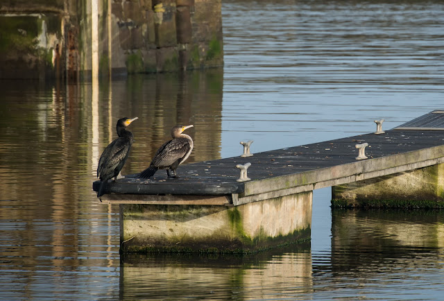 Photo of two cormorants sitting on a pontoon near the marina gate