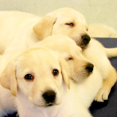 50 Meaningful Names For Male Yellow Labs