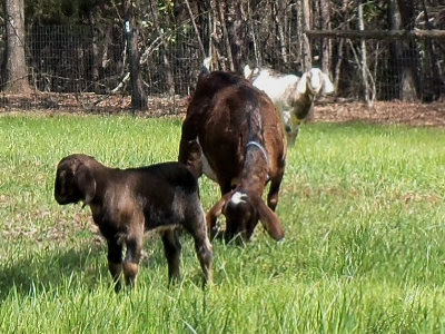 Alphie, Surprise, & Lily in the new pasture