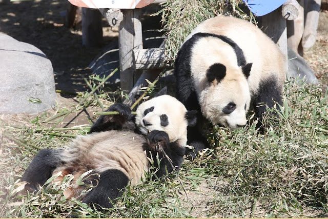 toronto zoo panda