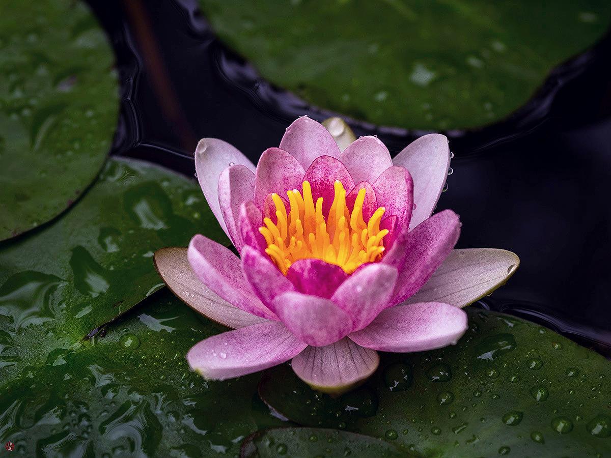 From the garden of zen suiren water lily flower kita kamakura suiren water lily flower kita kamakura izmirmasajfo