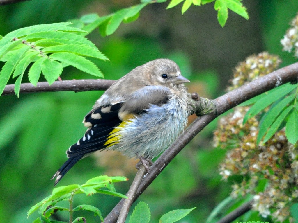 Two in a bush: Baby birds