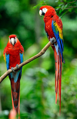 Scarlet Macaw Pets Singapore