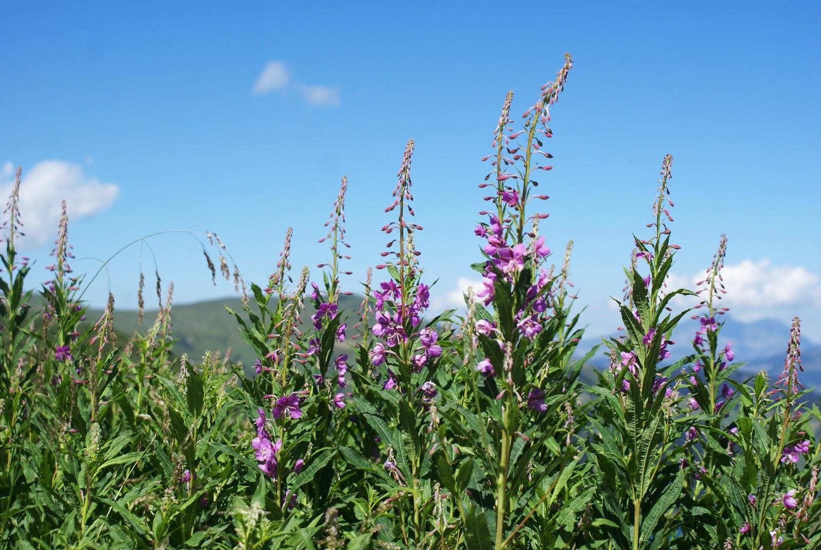 beaufortain alpes montagne savoie france randonnée digitale fleur
