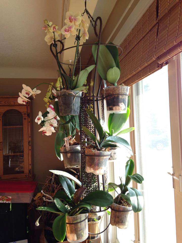My world of orchids creative idea for a hanging orchid for Ways to hang plants inside