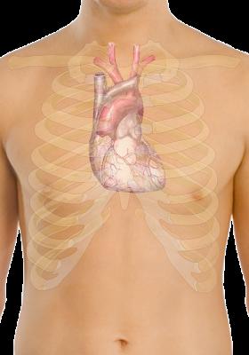 Gambar Letak Jantung Manusia