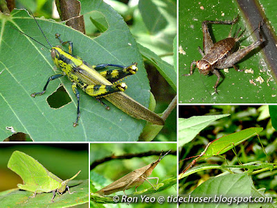 Grasshoppers, Katydids & Crickets (Order Orthoptera)