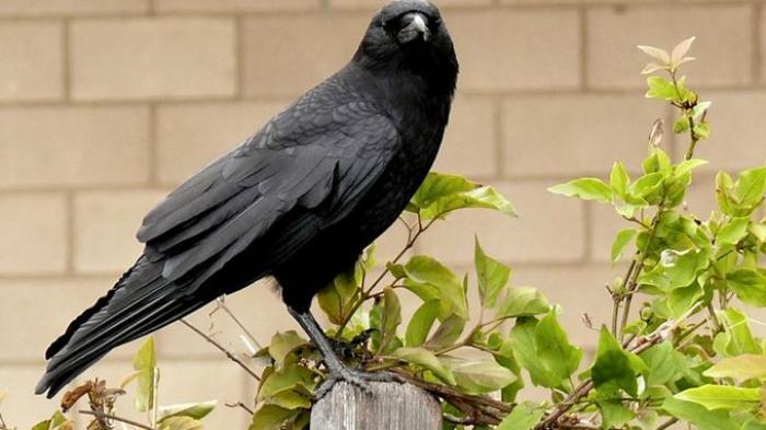 Fakta Mengerikan di Balik Kehidupan Burung-burung Gagak