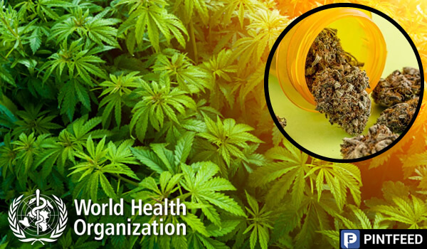 WHO declares that medical marijuana has no public health risks