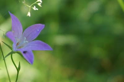 harakankellon kukka