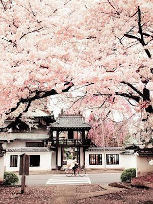 Cerisiers en fleurs et femme qui passe en vélo devant une maison typiquement japonaise