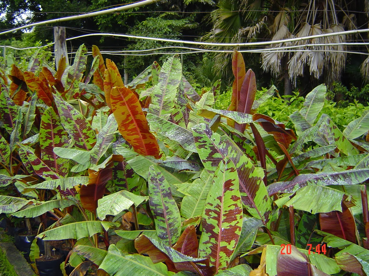 Red Banana Tree, Variegated Blood Banana 'Rojo'
