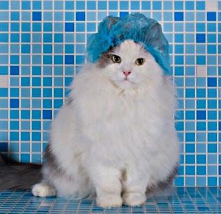 Cara memandikan kucing anggora dengan benar