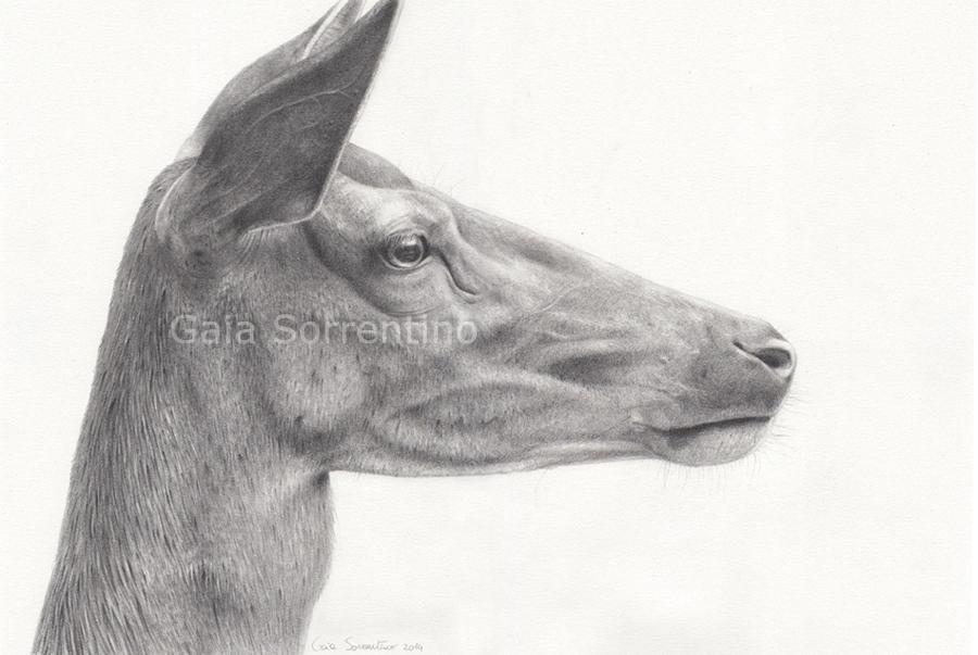 Gaia sorrentino disegnatrice naturalista wildlife for Lupo disegno a matita