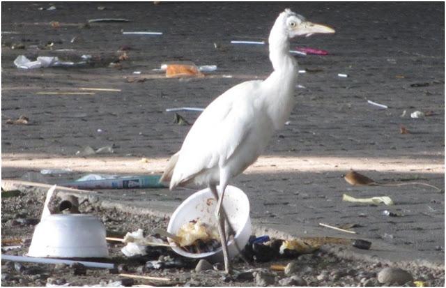 Seekor bangau putih berjalan di antara sampah yang berserakan