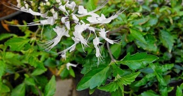 Kumis kucing Obat asam urat alami dari tumbuhan dan cara membuatnya