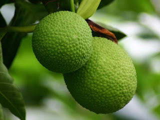 breadfruit images