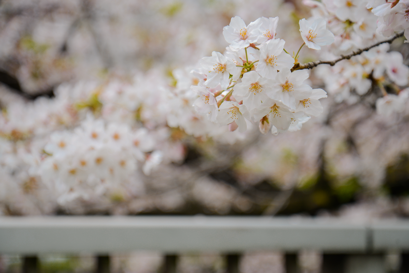 Cherry blossom in Tokyo, Tokyo's Not So Secret Cherry Blossoms Spots That You Might Not Know Of - Style and Travel Blogger Van Le (FOREVERVANNY.com)
