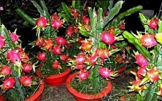 perawatan buah naga agar cepat berbuah,menanam buah naga agar cepat berbuah,cara menanam buah naga agar cepat berbuah,cara merawat buah naga agar cepat berbuah,agar buah naga berbuah terus,