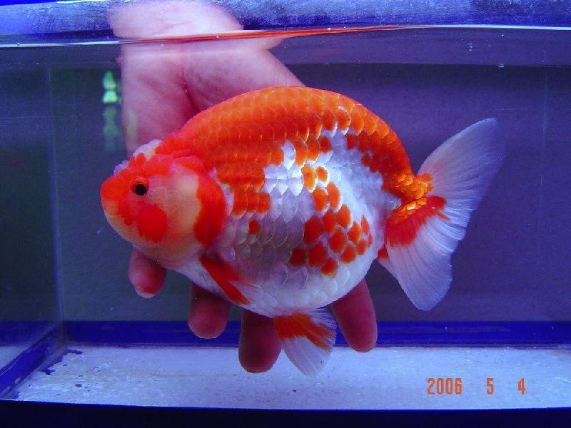 Gambar Penyakit Ikan Mas Koki Kembung
