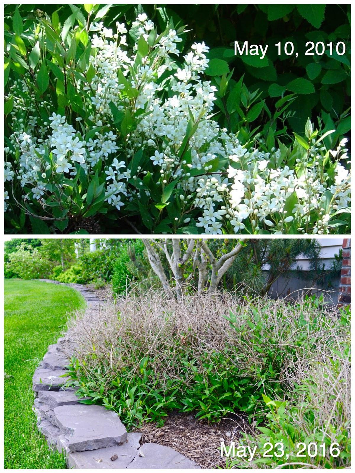 Laurries Garden Diary May 2016