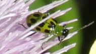Green Ladybugs - Spotted Cucumber Beetles