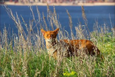 Питомник абиссинских кошек Shafran