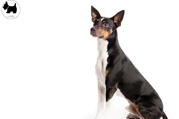 Cutest Dog Breeds, Best Dog, Rat Terrier Dog