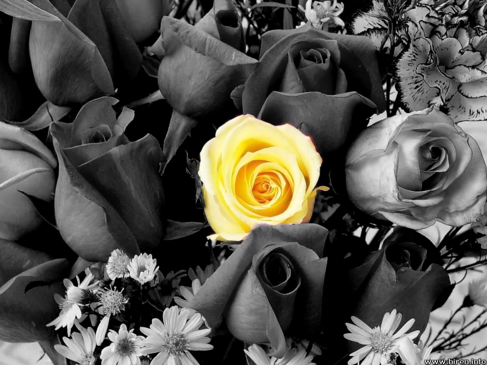 Black And White Roses With Color Hd Wallpaper 1600 X 1200