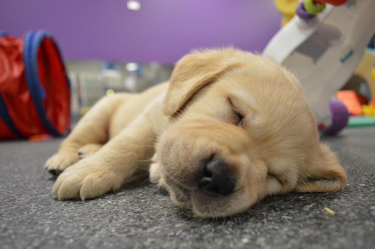 Become A Seeing Eye Dogs Puppy Carer