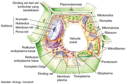 Materi Mitokondria Lengkap,  Beserta Fungsi,  dan Gambar Struktur
