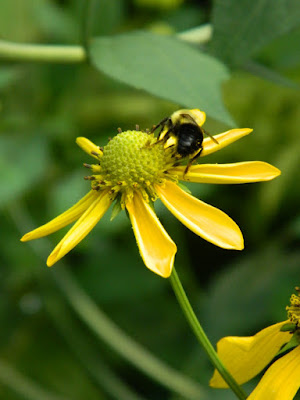 Rudbeckia laciniata Great coneflower Toronto native plants by garden muses-not another Toronto gardening blog
