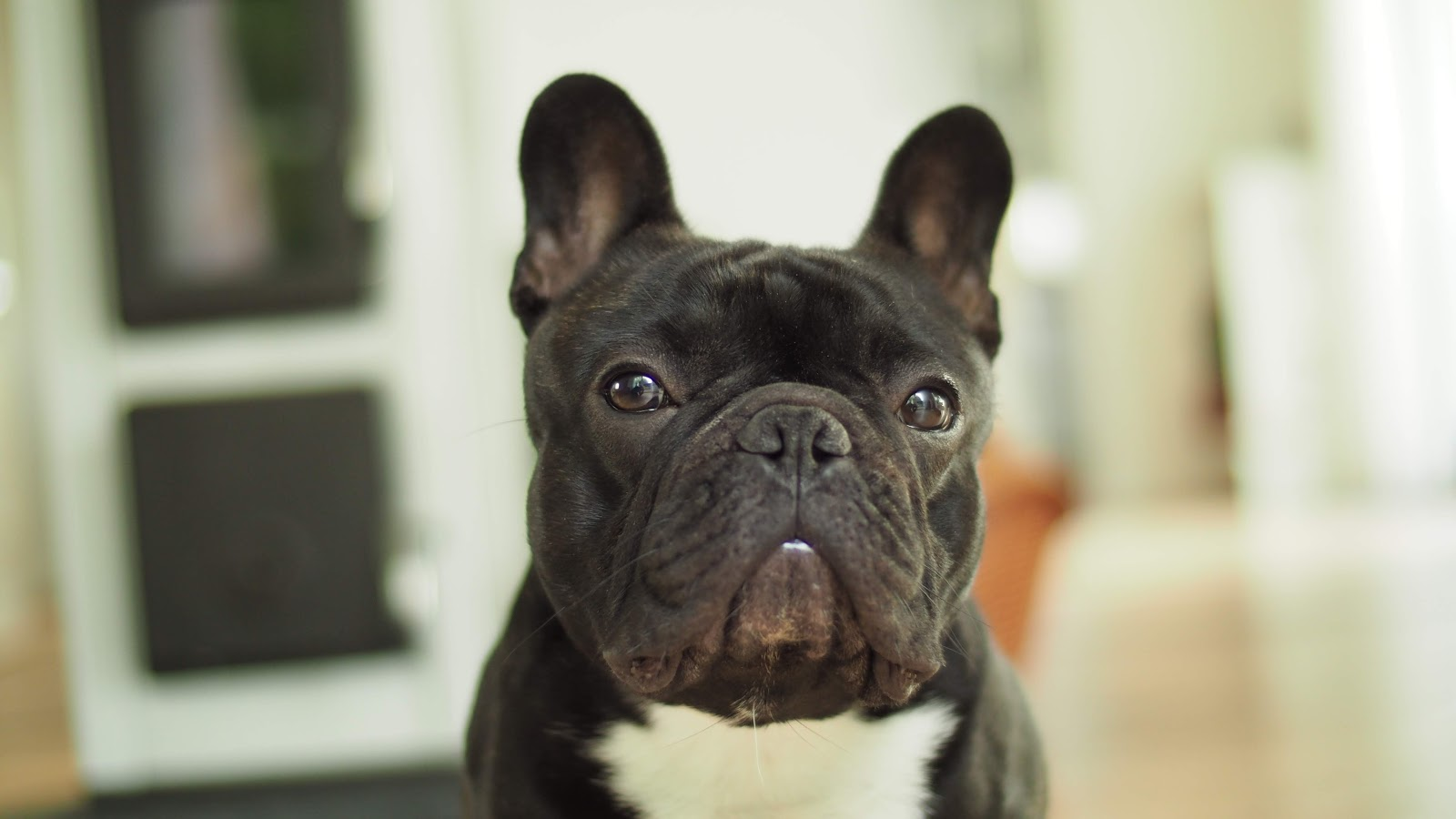 Bentley Bloggt Teil 7 Eine Franzosische Bulldogge Meldet Sich