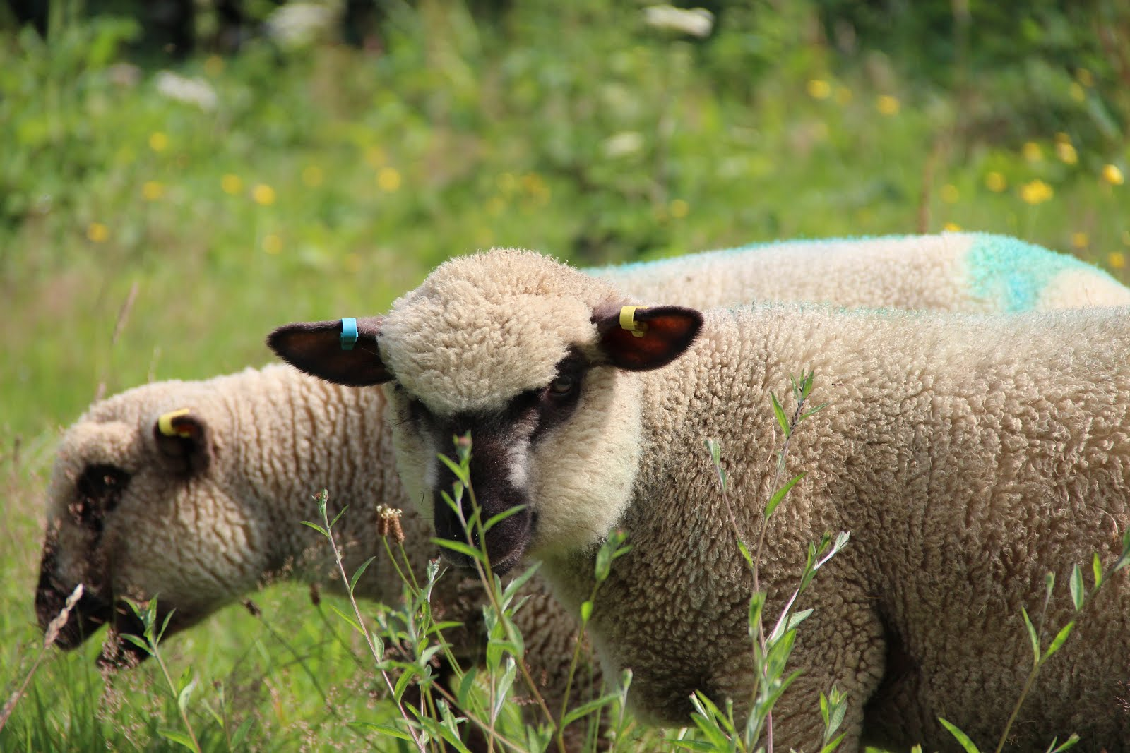Our Wonderful Dorset Downs Sheep