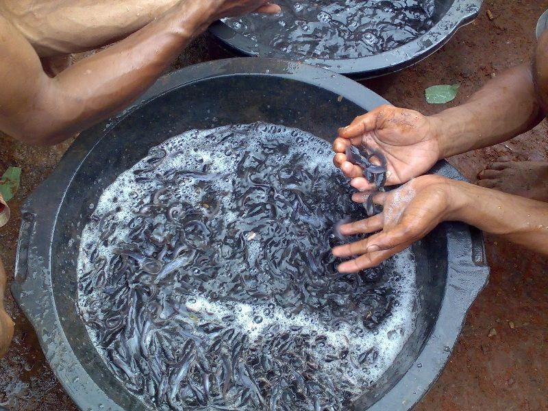 cara pemijahan ikan lele di kolam terpal