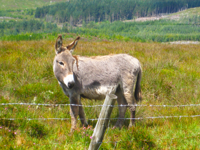 Donkey in Inagh Valley, Connemara, Ireland