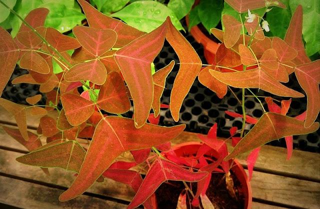 Pokok Rerama Daun Merah