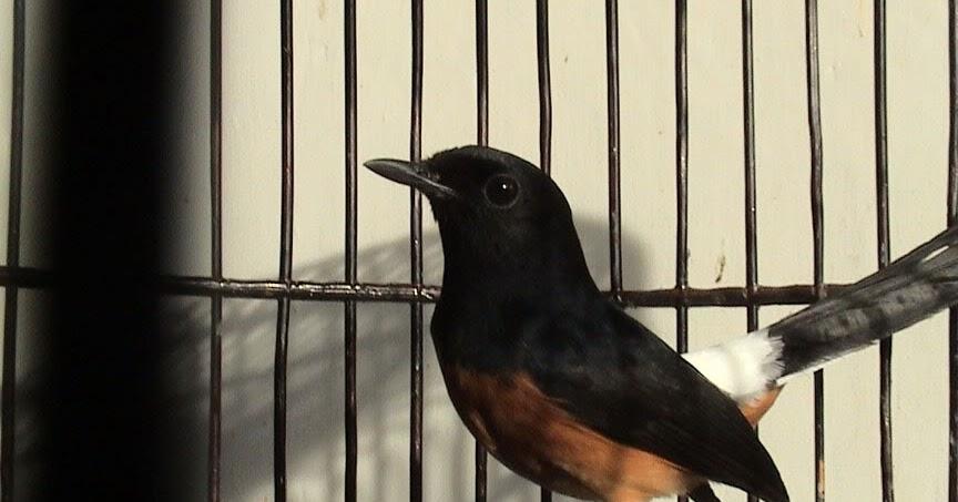 Kumpulan Foto Gambar Burung Murai Batu Mb