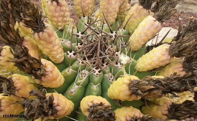 Frutos de Biznaga Ferocactus peninsulae
