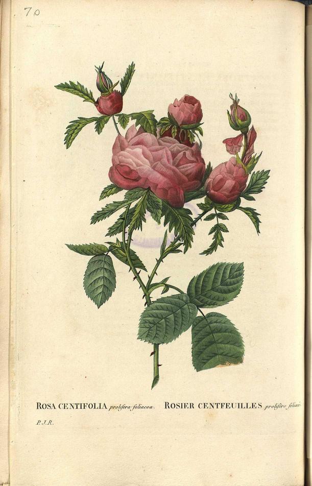 Biodiversity heritage library the botanical art of redoute for Biblioteca digital real jardin botanico