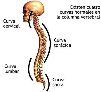 Ilustración de la columna vertebral del cuerpo humano señalando sus curvas