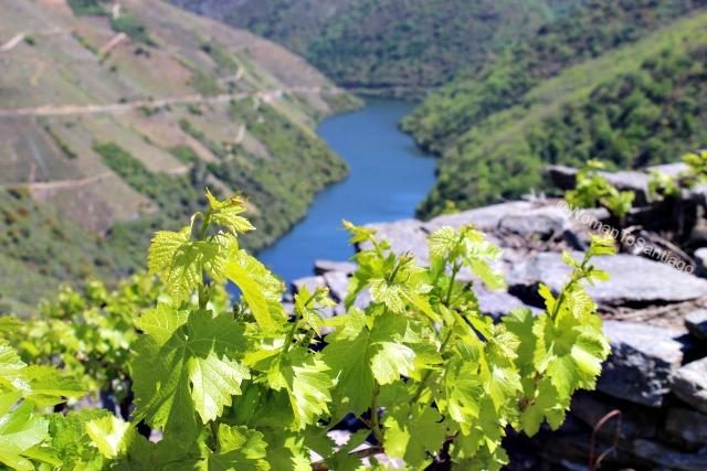 ribeira-sacra-camino-de-santiago-de-invierno-hojas-vides-rio-sil