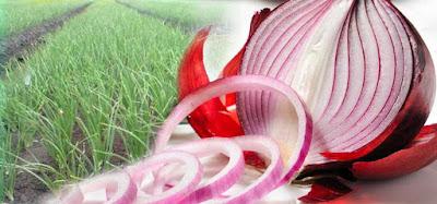 Mengetahui Kandungan dan Manfaat Bawang Merah, Organosulphu, Quercetin, Onionin A, Allicin