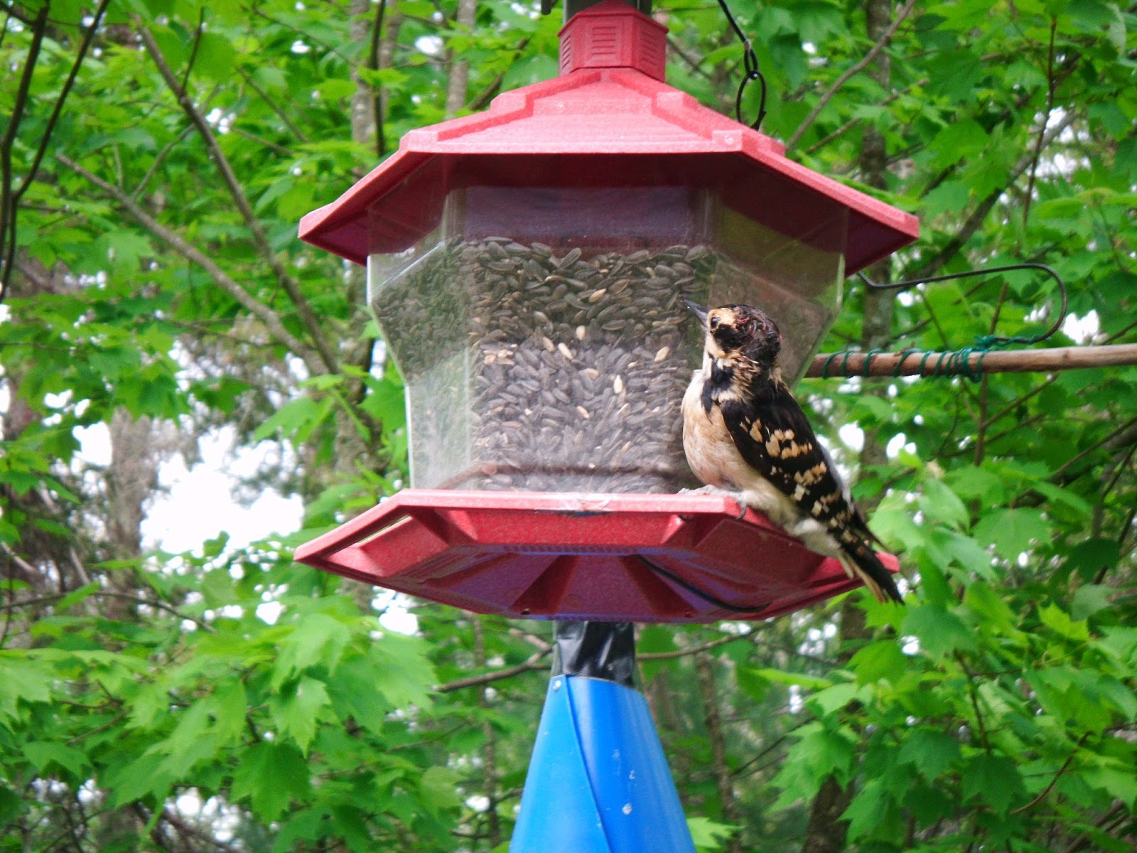 HAIRY WOODPECKER IN UNEXPECTED PLUMAGE.JUNE, 2016.