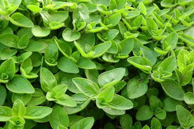 Herbal, Herbal Plant, marjoram tea, marjoram benefits, marjoram herbs, health, herbal tea,
