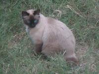 Minha gatinha Safira e a importância de um animal de estimação, as responsabilidades e o projeto de chipagem de gatos e cachorrros em Barretos-SP - Gata Safira no gramado de perfil