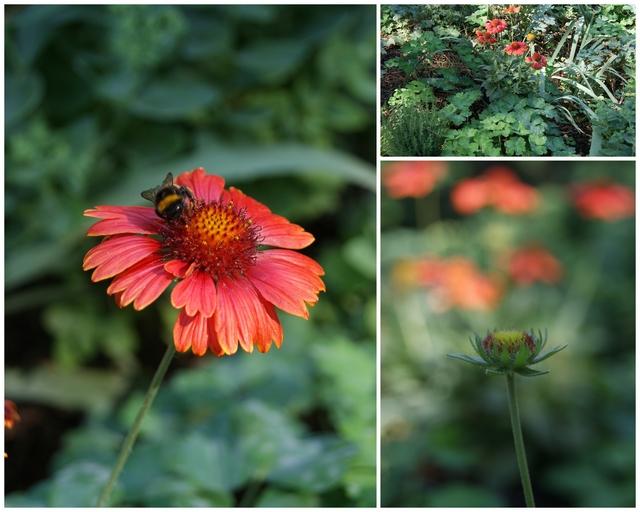 Kokardenblume als Füller zwischen Stauden