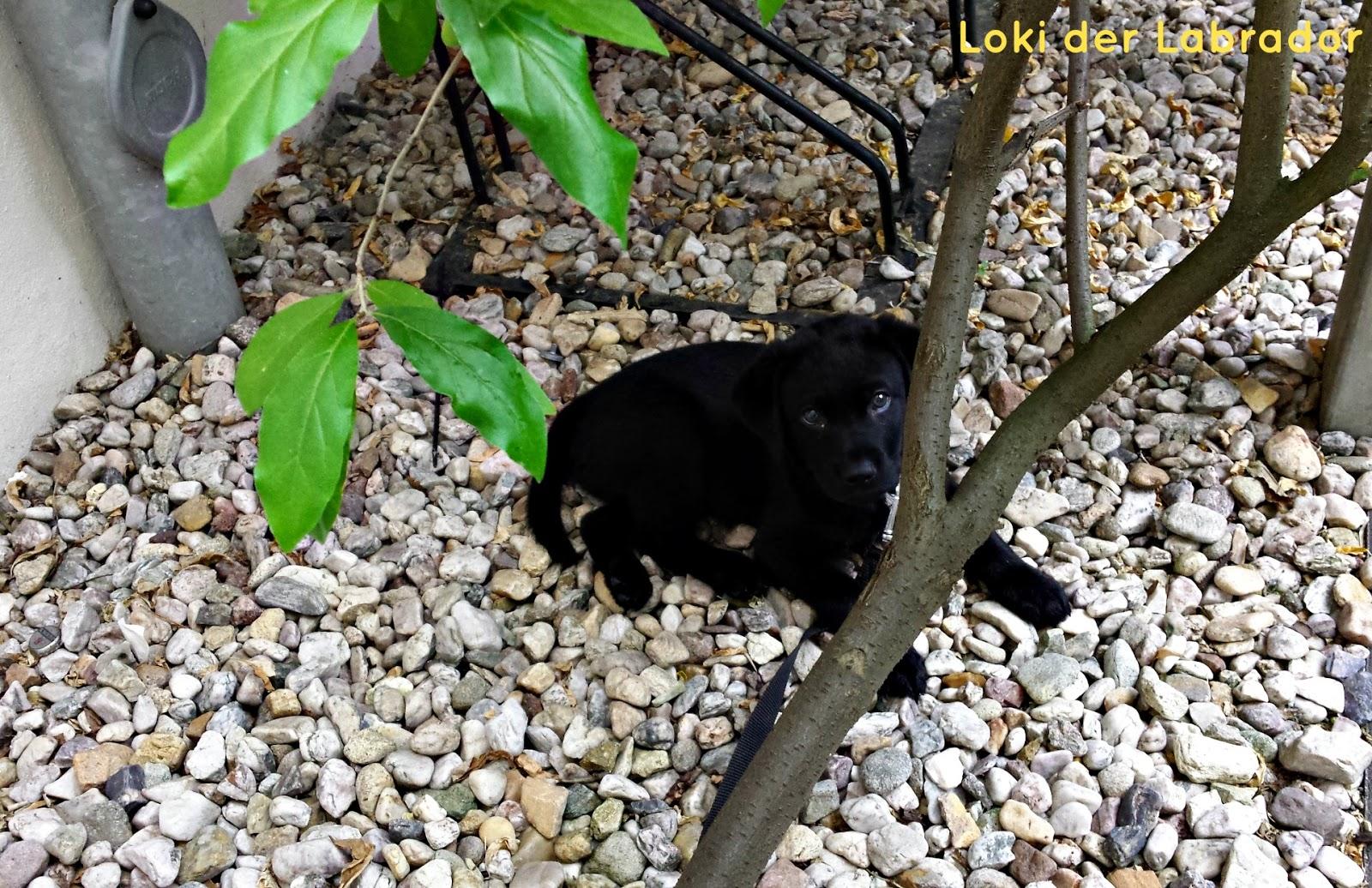 Welpe Loki Labrador