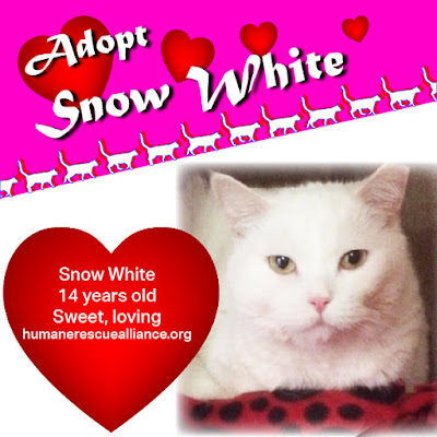Snow White is a 14-yr-old British Shorthair in need of a home
